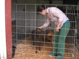 goats! 013